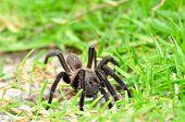 Tarantula Spider, Poecilotheria Metallica, In Green Grass Enviroment