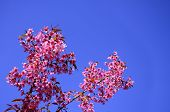 Wild Himalayan Cherry Blossom With Clear Blue Sky As A Background, Pink Flower, Sakura
