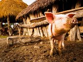 picture of mud-hut  - Livestock including pigs in the mud abound in the village of Thakurdwara - JPG