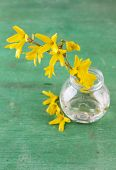 Beautiful Forsythia blossom in transparent jar on old wooden background