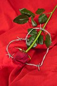 Rose And Barbed Wire