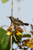 Young Beautiful Sunbird Perched On Yellow And Brown Flowers