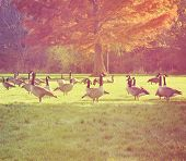 a flock of canadian geese in a local park by trees with autumn leaves done with a soft warm filter