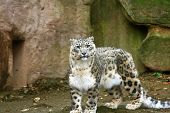 pic of snow-leopard  - a portrait of a young snow leopard - JPG