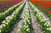 Converging Rows Tulips