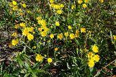 Hawkweed (Hieracium caespitosum)