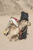 foto of dromedaries  - Old traditional egyptian bedouin woman with a dromedary camel in the eastern desert - JPG