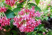 Pink Flower Quisqualis Indica.