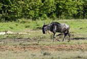 stock photo of wildebeest  - Afrikanskfy Antelope Wildebeest in natural habitat - JPG