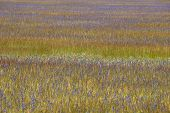 foto of klamath  - Large pine forest meadow of grass and purple Camas or Camassia scilloides wildflowers - JPG