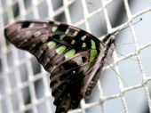 Butterfly (graphium Agamemnon)