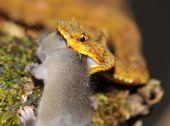 cerca de la víbora de pestaña amarillo llamativo ratón
