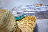 Formentera lizard Podarcis pityusensis formenterae in a tourist beach hat