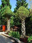 Trees that are grown in the form of various shapes