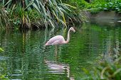 stock photo of pink flamingos  - Pink flamingos at the perfect in pool - JPG