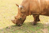 Close-up of the large white rhinoceros (Ceratotherium simum)