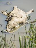 Dead crocodile in pond covered with flies