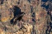 Black raven fly in mountains