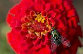 Green bottle fly on a flower