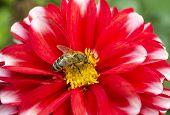 Honey bee on Dahlia flower