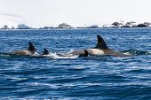 Group Of Female Assassins Diving Whales In Antarctic Waters On A Sunny Afternoon