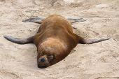 Male South American Sea Lion Who Sleeps On A Sandy Beach