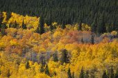Colorado Aspens Stand