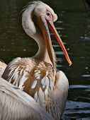pelican cleaning itsself