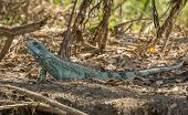 stock photo of wetland  - Close view of Iguana in Pantanal Wetlands, Brazil