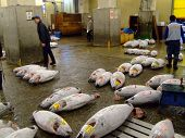 Seltene Thunfisch in der Auktion in Japan am Tokios Tsukiji Fish Market