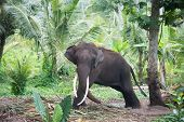 stock photo of tusks  - Elephant portrait with large tusks in jungle Sri Lanka - JPG