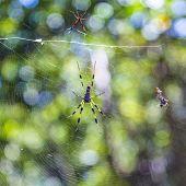 Giant Wood Spider The Golden Orb Weaver Or Banana Spider