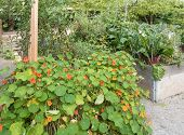 pic of nasturtium  - Nasturtiums and vegetable crop in wooden frames - JPG