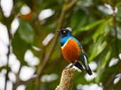 Superb starling bird