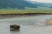 Wild Buffalo Crossing A River