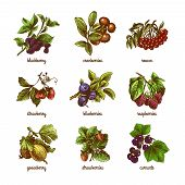 image of rowan berry  - Natural organic berries set of rowan gooseberry currant colored sketch isolated vector illustration - JPG