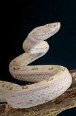 picture of venomous animals  - The Tokara habu is a venomous pit viper endemic to the Tokara islands of Japan - JPG