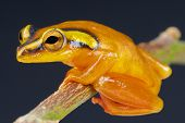 foto of orange frog  - The golden sedge frog is an African reed frog species endemic to Zanzibar island - JPG