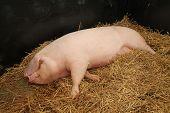 Female Pig.