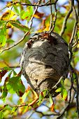 Wasp Nest Hangs In A Tree With Autumn Leaves.
