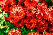 Red Chrysanthemum Background