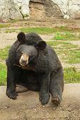 Black Himalayan Bear Resting