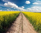image of rape-seed  - Country road across rape field with beautiful cloud  - JPG