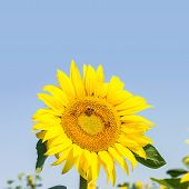 Blossoming Raw Sunflower On Field With Blue Sky Background