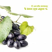 Cluster Of Ripe Dark Blue Grapes Isolated On White Background