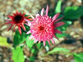 Pink summer flowers coneflower