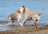 Labradors At The Sea Playing With A Ball