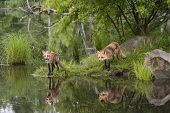 foto of sneaky  - Clear reflection of two red foxes standing on the riverbank - JPG