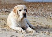 Labrador At The Sea Portrait Close