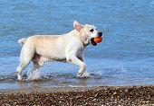Labrador Swimming In The Sea